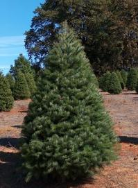 Furlanic christmas trees be the most beautiful of christmas trees renowned for its blue green color and phenomenal needle retention the fraser solutioingenieria Image collections